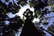 University of Florida Biomass Energy Crop Yield Estimates